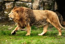 Photo of Lion King – The hidden facts that might amazed you